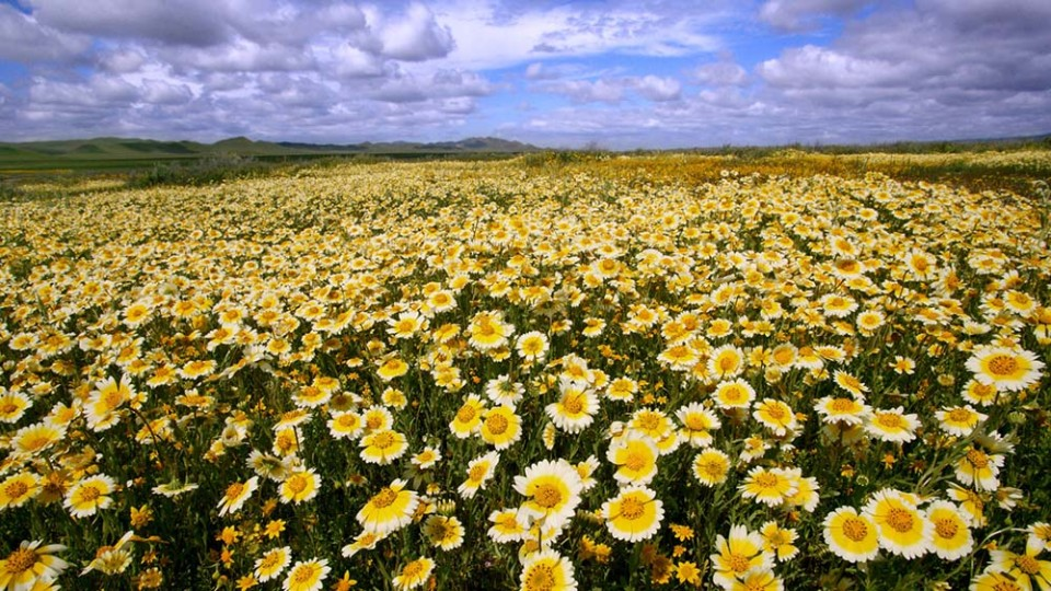 wildflowers on the Carrizo Plain
